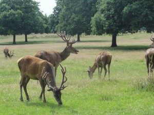 Red deer grazing in small group